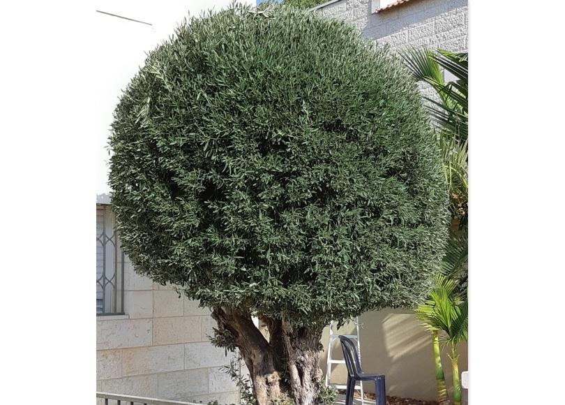 trimming trees in Jerusalem